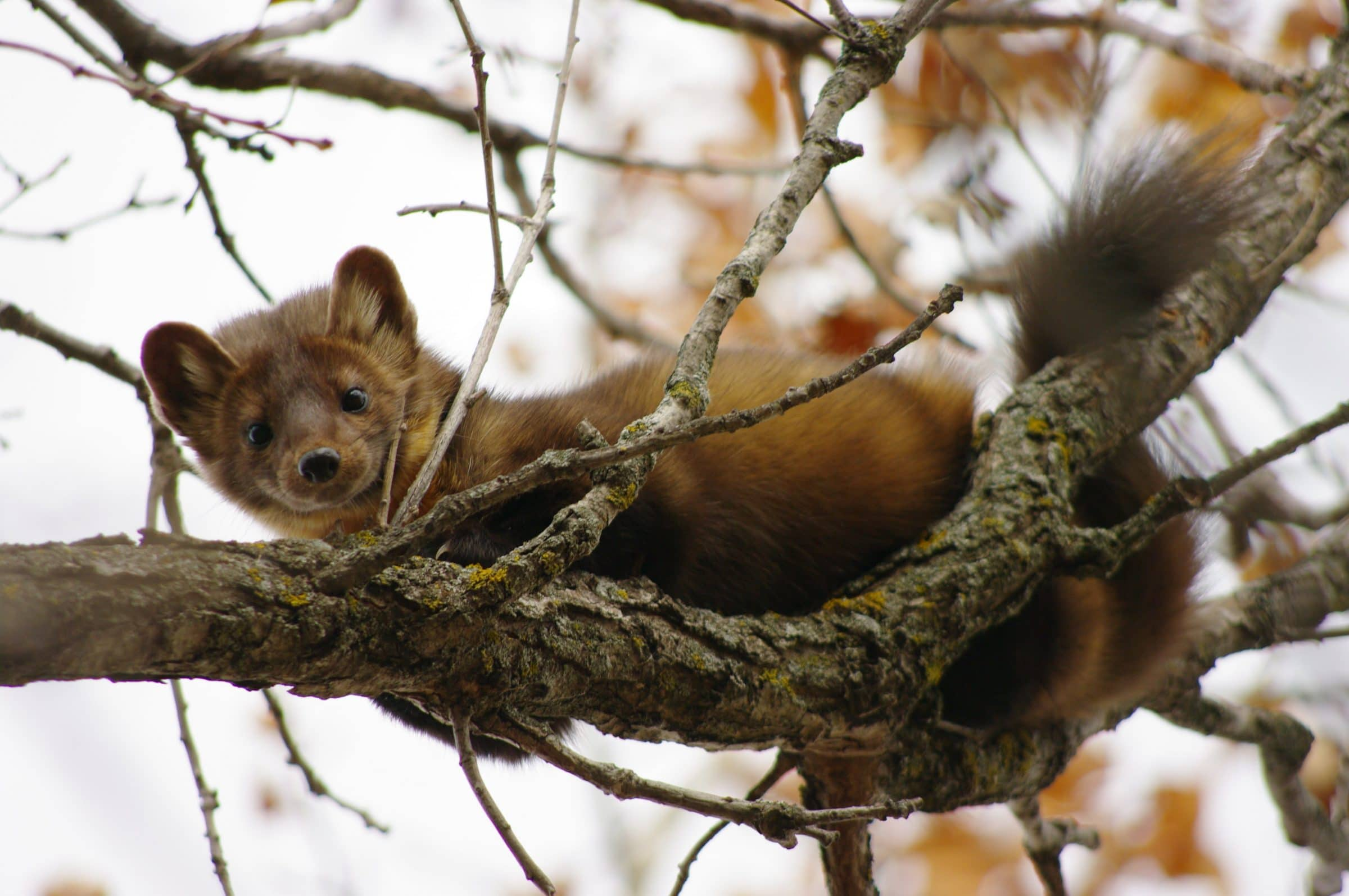 A marten lays on a tree branch and looks down below at the camera.
