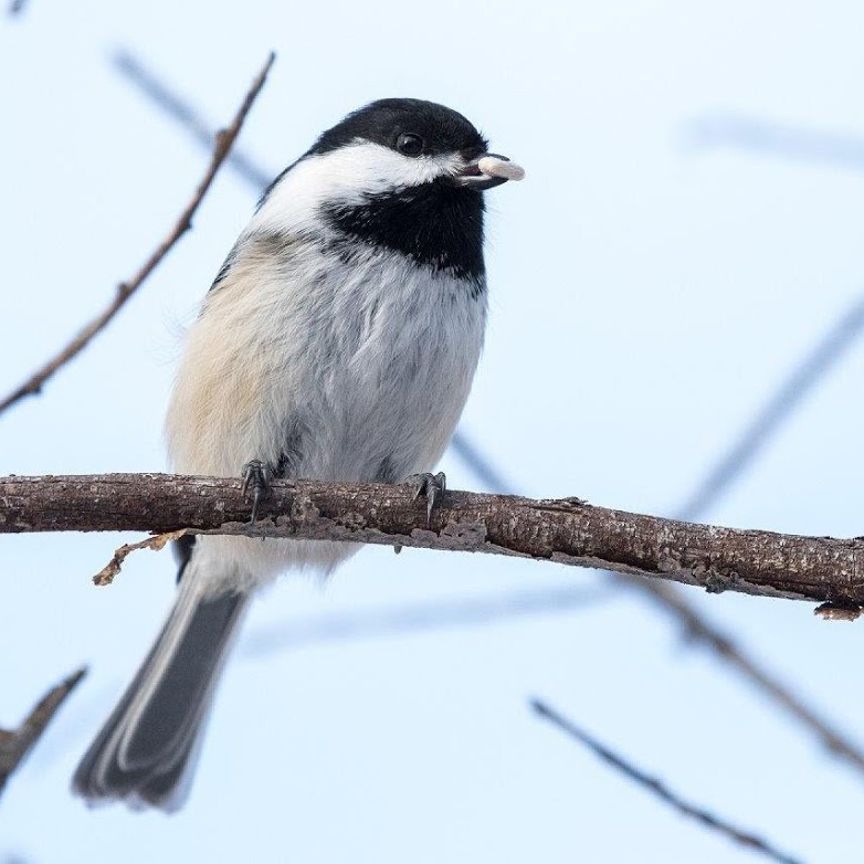 A black and white bird sits on a branch.