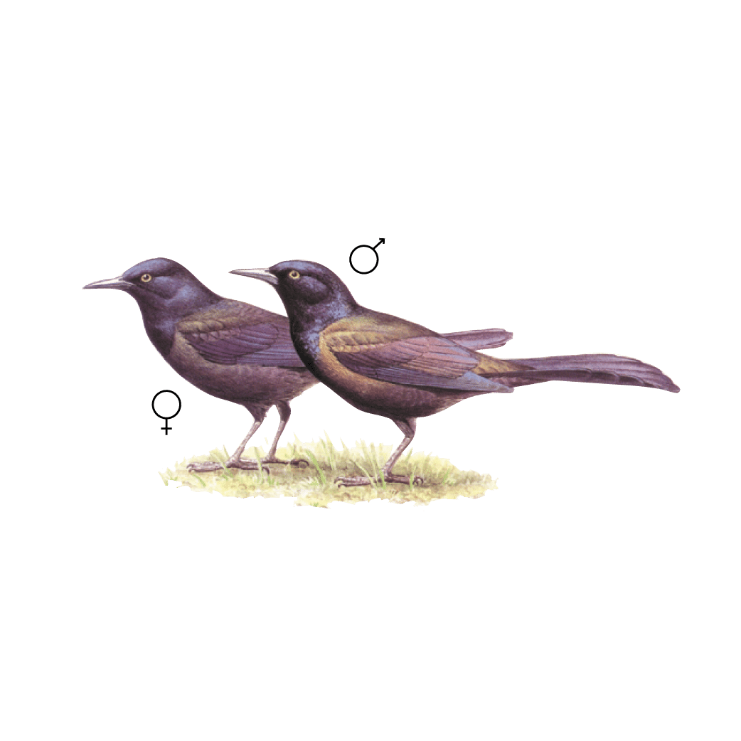 Graphic of a male and female Common Grackle.