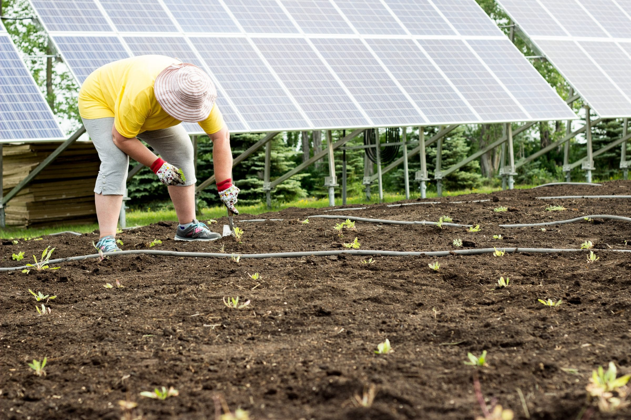 A volunteer plants a small flower in dirt in front of the solar panels in summer.