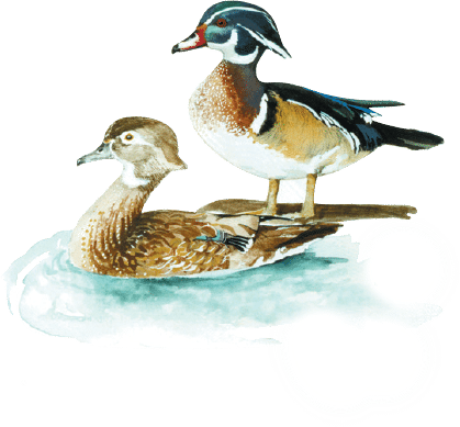 Graphic of a male and female wood duck.