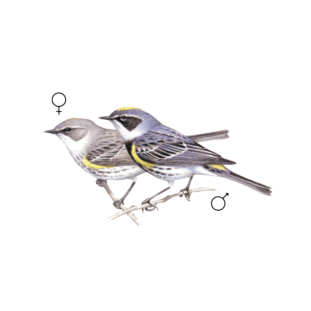 Graphic of a male and female yellow-rumped warbler.