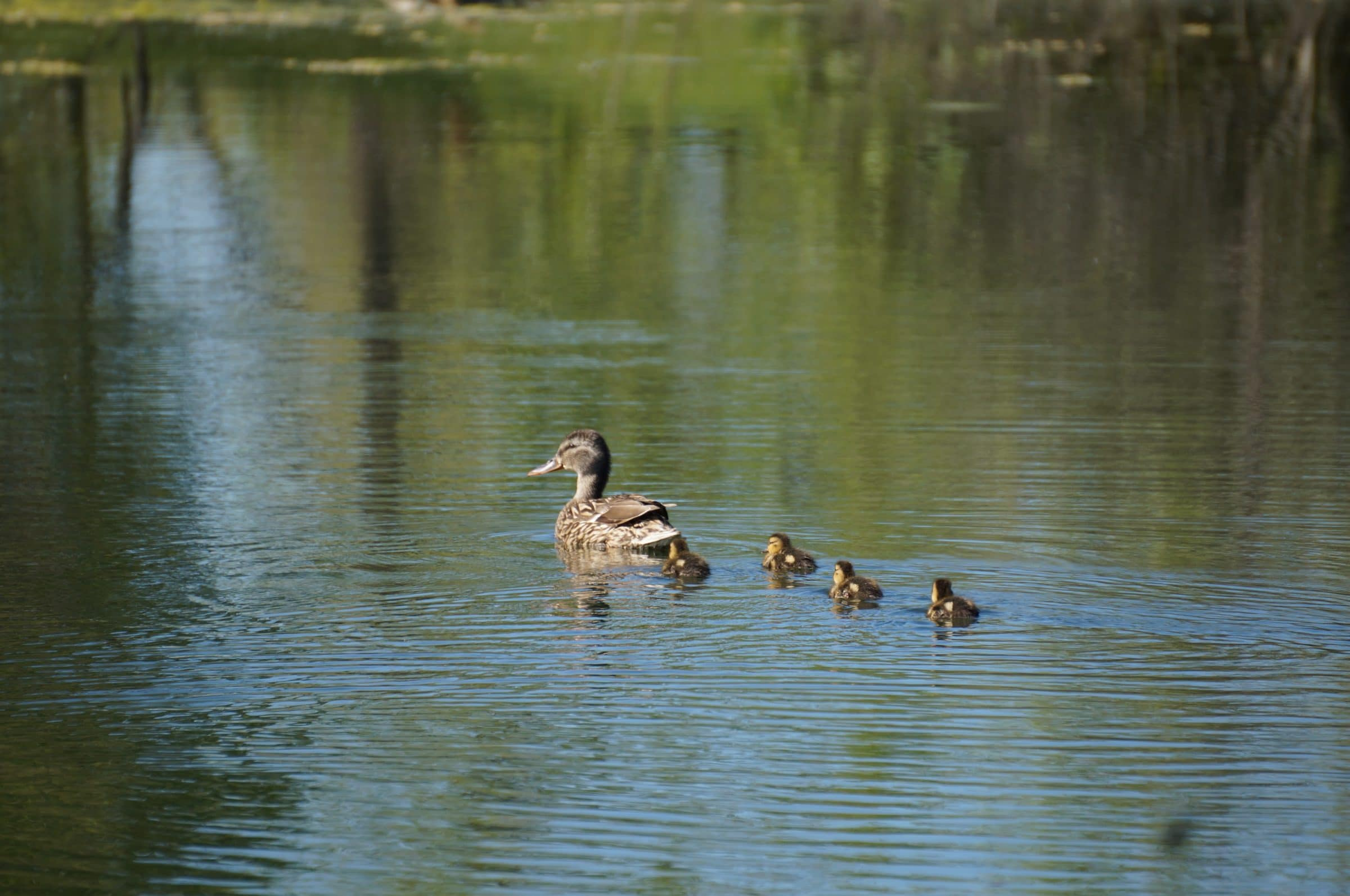 A duck and several ducklings swim in the water.