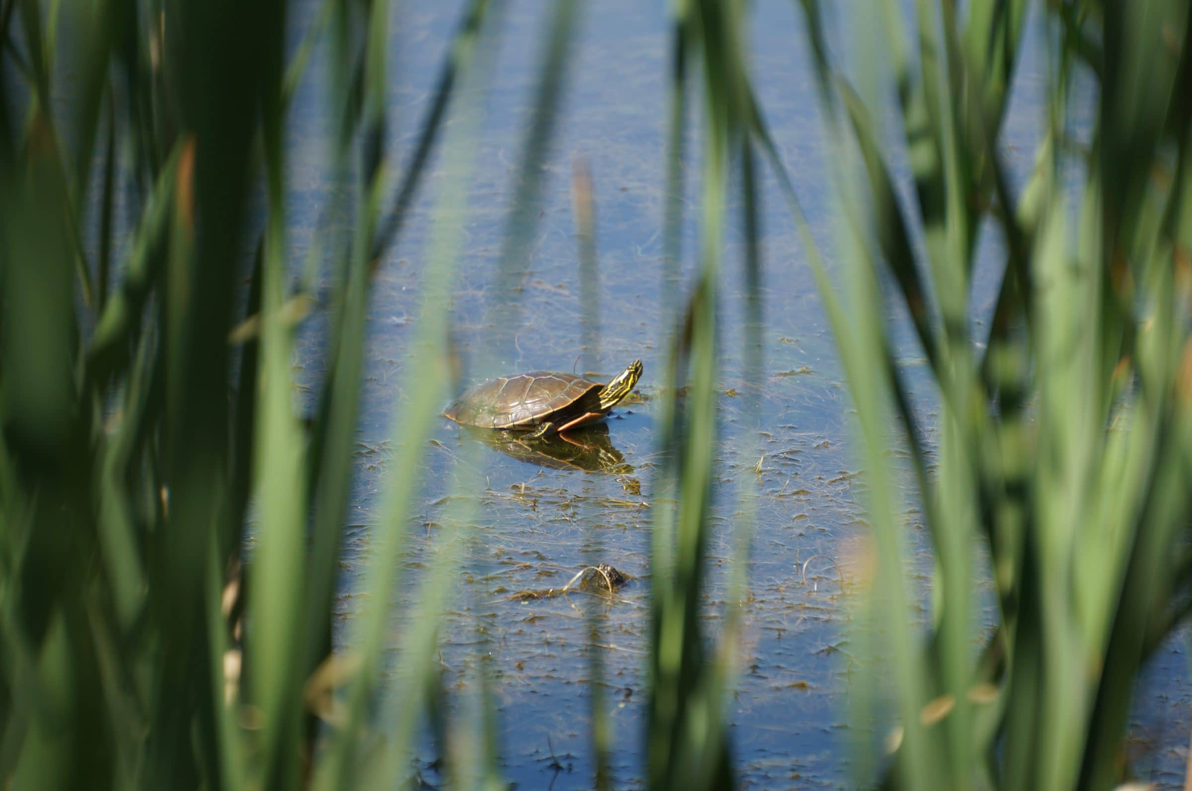We see a turtle sitting in swampy water through thick green grass.