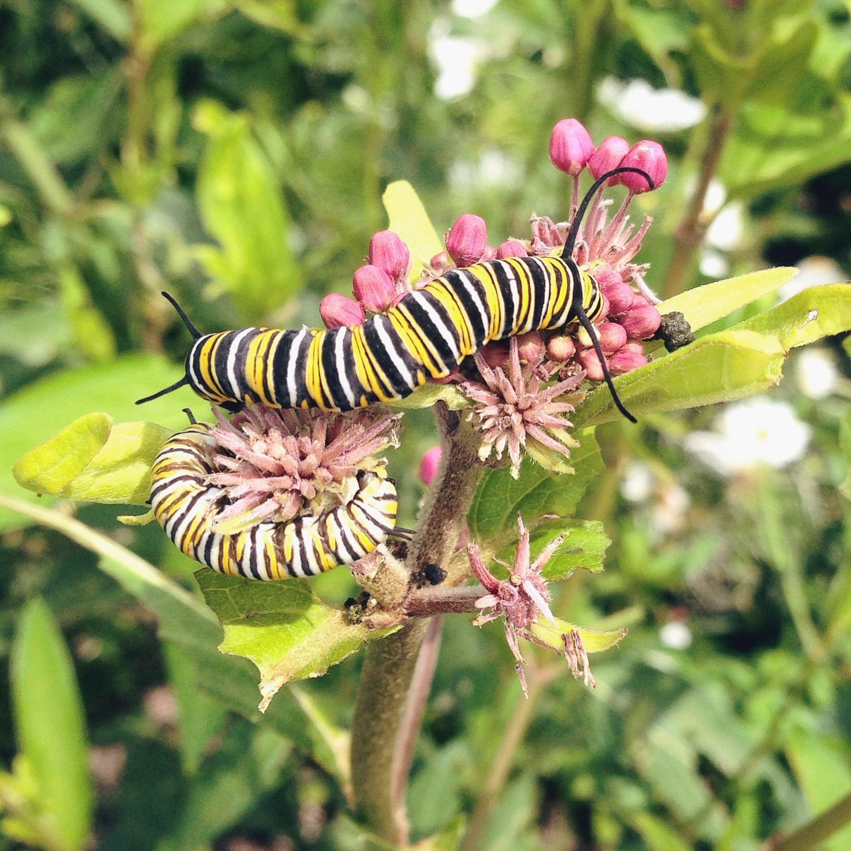 A black and yellow striped caterpillar sits on a pink flower.