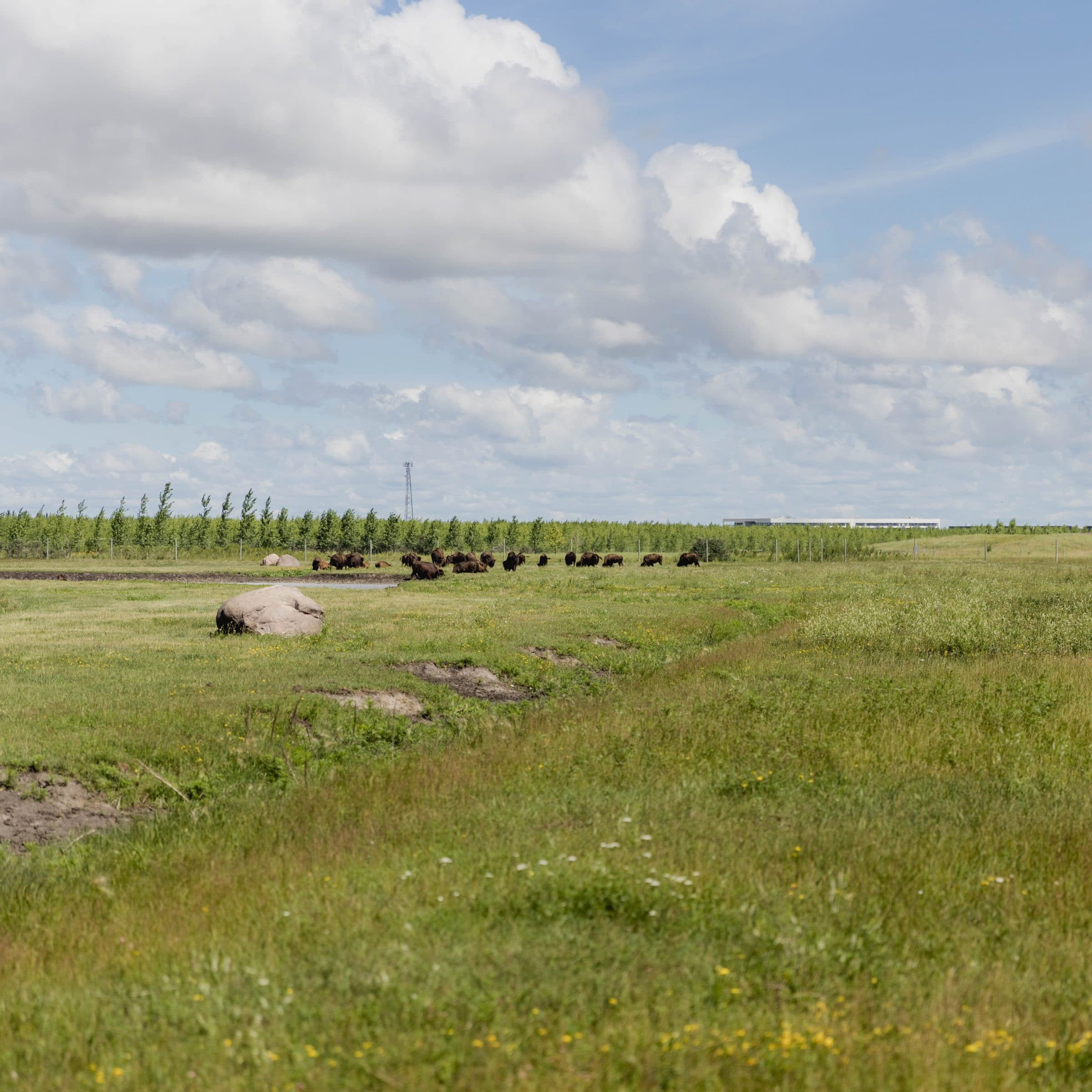 A grass prairie with bison in the distance in summer.